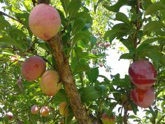 organic red plums