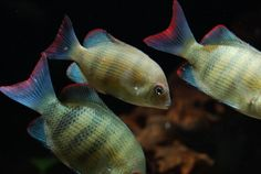 Rare African Cichlids | This post has been edited by Norbert : Dec 31 2009, 09:37 PM