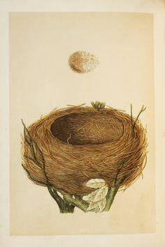 Blackbird Nest & Eggs Reverend Morris 1800s by PaperPopinjay
