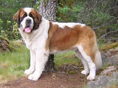 Lasquite Saint Bernards - go to the videos link in the left sidebar.  This is the breeder with the YouTube video of 42 Saint Bernards walking in the woods.