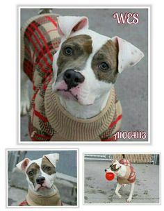 ☆☆☆WES IS IN SERIOUS TROUBLE! !!!!!! ☆☆☆HE'S OUT OF TIME & GOING TO DIE!!!!!! ☆☆☆ SHARE HIM TODAY HE DOESN'T HAVE TOMARROW! !!!! HE'S AVAILABLE @NYCDOGS.URGENTPODR.ORG
