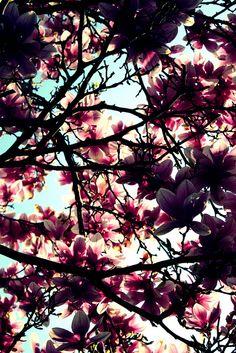 The Magnolia Grandiflora