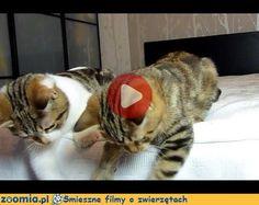 Na cztery łapy « Koty « Śmieszne filmy o zwierzętach - śmieszne koty, śmieszne psy. Zoomia.pl :: Zoomia pl