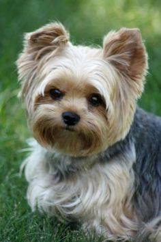 Yorkshire terrier by ana.krleska; nice to see one photographed by a pro that isn't all dressed up.