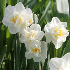 Narcissus Cheerfulness. An heirloom treasure with clusters of intensely fragrant, creamy white flowers. This late-blooming double daffodil is lovely in the garden and great for bouquets.