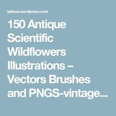 150 Antique Scientific Wildflowers Illustrations – Vectors Brushes and PNGS-vintage, public domain, graphics, wildflower, illustrations, flo… – Tattos A