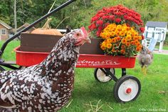 Tips for selecting chicken breeds.
