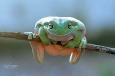 dumpy frog, tree frog, frog, Smille Frog, Frog Smille, when i see you smile, by Andri Priyadi on 500px