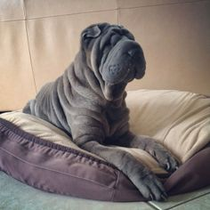 Shar pei. Apparently they were Chinese guard dogs.