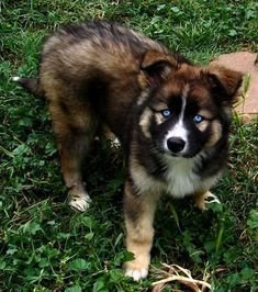 german shepherd and siberian husky mix puppies for sale - Google Search