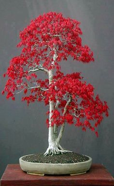 Look at the amazing color on this bonsai tree! Bonsai trees are sweeping the nation with the classic, zen ambiance they create in any home décor! See more bonsai trees like this one at www.nurserytreewholesalers.com!