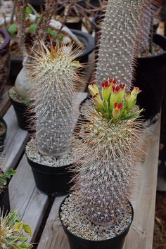 Pachypodium namaquanum | Flickr - Photo Sharing!