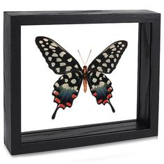 Spotted Swallowtail Butterfly - Evolution Store