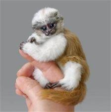 Finger Monkeys Smallest In World