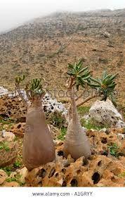 Картинки по запросу adenium obesum habitat