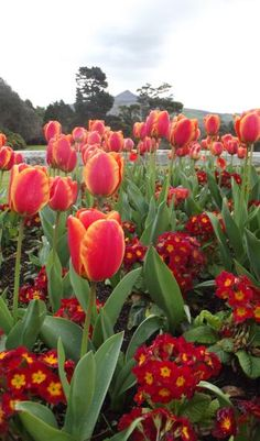 The Tulip Festival at Powerscourt Gardens with the Sugarloaf Mountain in the distance, Ireland www.powerscourt.ie
