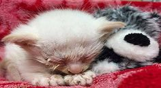 3-Week-Old White Kitten Thrown from Car Window, Begins a Long Road to Recovery