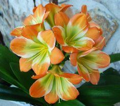 3-AMARYLLIS-USA-clivia-siemenet-LONGWOOD-039-S-debutante-X-Hattori-039-Aurora-039 Aurora, Seeds, Peach, Orange, Usa, Plants, Debutante, Flowers, Peaches