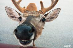 Ciervo de los cayos Key Deer Ciervo de los Cayos Key Deer en Florida by machbel 2