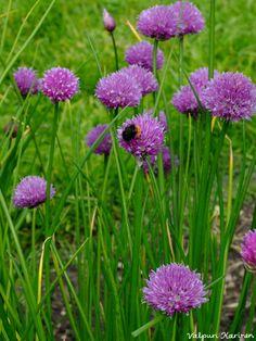 Kimalainen ruohosipulin kukassa. Ruohosipulia voi kasvattaa avomaalla, ruukussa sisällä tai ulkona, parvekelaatikossa tai kasvihuoneessa.  Photo Valpuri Karinen www.viherpiha.fi