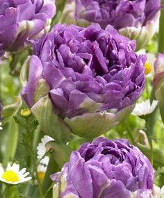 Tulip Blue Wow - Peony Flowering Tulips - Tulips - Flower Bulbs Index
