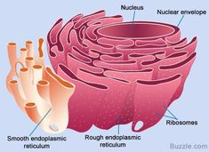 All About the Smooth Endoplasmic Reticulum and its Function - Biology Wise Biology Jokes, Biology Art, Cell Biology, Biology For Kids, Teaching Biology, Plasma Membrane, Cell Membrane, Make Flash Cards, Cell Structure