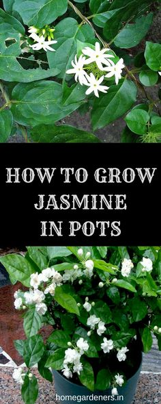 How to Grow and Care for Jasmine Plant Here are some possible factors that will definitely help you to grow jasmine plants with seeds in your home with much care Backyard Plants, Garden Plants, Indoor Plants, Indoor Outdoor, Jasmine Plant Indoor, Flower Pot Design, Indoor Flowers, Backyard Projects, Garden Projects