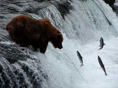 Activist Post: Are Salmon Dying from Hot Water in Northwestern Rivers, Or Could It Be Something Else? Bear Fishing, Save Planet Earth, Brown Bears, Arctic Animals, Holy Ghost, Rivers, Pet Birds, Blessings, Alaska