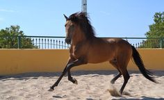 Yeguada Chando-Sale of Andalusian Horses - Spanish PRE Horse Exports