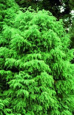 Cryptomeria jap Elegans Viridis, Cryptomeria - Frank P Matthews Conifer Trees, Planting Plan, Colour Schemes, Garden Styles, Shrubs, Perennials, Garden Design, Green, Plants