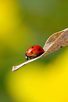 The photo has a strong point of interest. I like how the inside of the leaf is in focus yet the outside of it is not. The detail of the lines on the inside of the leaf have been well captured. The colours of the ladybug are very strong and the subject is well lit.