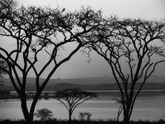 "Saatchi Art Artist johann kruger; Photography, ""Acacia Sieberiana"" #art Acacia, Saatchi Art, Landscapes, African, Explore, Black And White, Canvas, Artist, Photography"