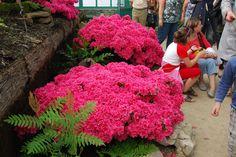 "Les ""choux-fleurs"" rouges   Explore Flikkersteph -…   Flickr - Photo Sharing!"