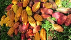 The cacao (cocoa) bean is one of nature's most amazing superfoods,also used in making  delicious chocoaltes.Check more details on the website of Gyarko Farms for high quality cocoa  beans in Ghana: http://www.asanduff.com/gyarko-farms/ #cocoabeans, #cocoaghana, #cocoafarms