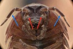 Armadillidium vulgare (Armadillidiidae): Crustacea - Ordem Isopoda, Subordem Oniscidea   - Setas vermelhas: Primeiras antenas (1º par de antenas)  - Setas azuis: Segundas antenas (2º par de antenas)