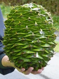 "Mayor Diane Blackwood of Warragul, east of Melbourne, Australia, has issued a warning about massive pine cones falling from a tree in the town center: ""They are the size of a watermelon, falling literally out of the sky from potentially 20 metres high Conifer Cone, Conifer Trees, Planting Seeds, Planting Flowers, Giant Pine Cones, Seed Pods, Plantation, Pine Tree, Organic Gardening"