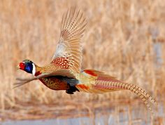 Check out this Ring-necked pheasant flying on the Lacreek National Wildlife Refuge, SD Photo:Tom Koerner