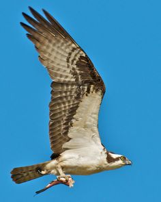 Osprey.  A pair of Osprey nest in the little park a couple of cabins over from us every year.  They are a noisy bunch!