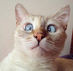 O gato siamês Muni saiu das ruas da Armênia para fazer sucesso na internet