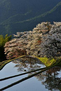 Cherry tree in full bloom, Mitake, Misugi town, Tsu, Mie, Japan