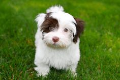 A Havanese! Such a cutie! Havanese Breeders, Havanese Dogs, New Puppy, Puppy Love, Super Cute Animals, White Dogs, Dog Pictures, Animal Kingdom, Animals And Pets