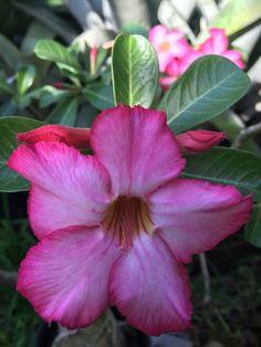 Aedenium Desert Rose