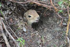Arctic Ground Squirrel in its underground home Ground Squirrel, Underground Homes, Antarctica, Reptiles, Animals, Frogs, Animales, Animaux, Animal
