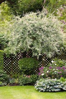 Kungsbacka Trädgårdsdesign: Nordens Olivträd (silverpäron, ej ätbara)