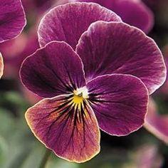 Sorbet™ Antique Shade Viola