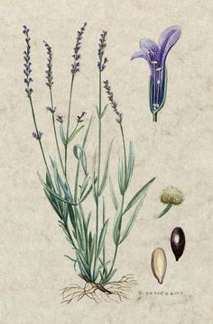Encyclopedia Of Flowers And Plants: Lavandula/ Lavender Botanical Illustration Enzyklopädie der Blumen und Pflanzen: Lavandula / Lavender Botanical Illustration Vintage Botanical Prints, Botanical Drawings, Vintage Botanical Illustration, Vintage Illustrations, Botanical Flowers, Botanical Art, Art And Illustration, Vintage Abbildungen, Illustration Botanique