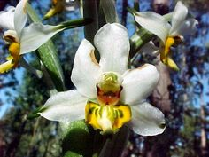 Orchid: Gavilea longibracteata