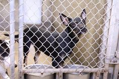 ~~SUPER URGENT ODESSA~~   **DIES TUES., 07/22/14 7PM** Terrier/chi mix~ male ~1-2 years old ~ Kennel A3~ Available 7-21-2014 ****$51 to adopt  Located at Odessa, Texas Animal Control. 432-368-3527