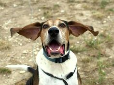 Meet Dudley, an adoptable Treeing Walker Coonhound looking for a forever home. If you're looking for a new pet to adopt or want information on how to get involved with adoptable pets, Petfinder.com is a great resource.