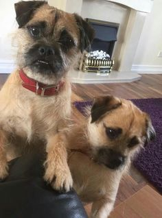 Frankie and Benny - Pug X's in West Wales Poundies. Very friendly. Needing new home.
